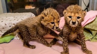 Download Baby Cheetah Sisters Spotted at the San Diego Zoo Safari Park Video