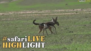 Download Angry gazelle mother chases off hungry jackal! Video