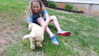 Download Labradoodle 1 month to 1 year Video