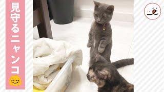 Download 早く一緒に遊びたいね✨ 子猫を優しく見守る2匹のニャンコ☺️💕 【PECO TV】 Video