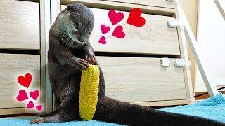 Download 【新物】トウモロコシまるごとカワウソのビンゴにあげてみた!Otter Bingo get a whole corn! Video