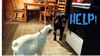Download Dog meets a goat Video