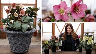 Download Hellebore Care Guide // Garden Answer Video