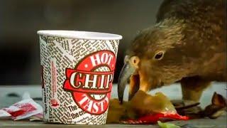 Download Kea Parrots Eat Fast Food | Kea | The Smartest Parrot | BBC Video