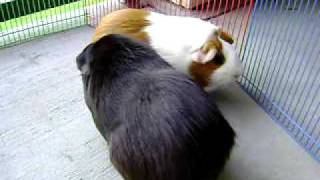Download Two Female Guinea Pigs Fighting Over Dominance - Part II Video