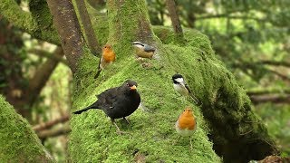Download Morning Birdsong : Sounds and Videos for Cats and People to Enjoy - Let Nature Sing Video