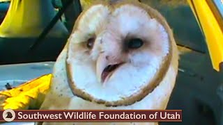 Download Barn Owl shot with dart ready for release Video