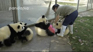 Download Panda cubs and nanny Mei's war Ⅱ Video
