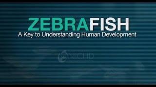 Download Zebrafish - A Key To Understanding Human Development Video