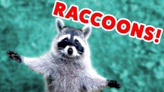 Download RACCOON STEALS DEER'S FOOD & MORE Funny Raccoon Videos of 2016 | Funny Pet Videos Video