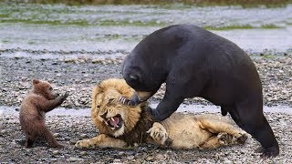 Download Lions is King But Fail! Mother Bear Save Her Baby From Puma Hunting, Giraffe vs Lions Video