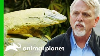 Download Keepers Hope These Komodo Dragons Will Be The Zoo's First Breeding Pair   The Zoo Video