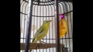 Download Pleci Mr. Kebo Malang - Jawa Timur Video
