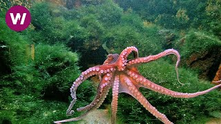 Download Octopus with New Age Music ► 2 HOURS ◄ (HD 1080p) Video