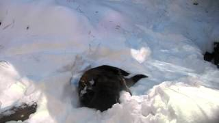 Download River Otters playing in the snow Video