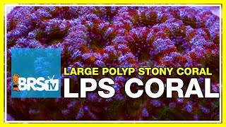 Download Week 36: Large Polyp Stony corals! LPS selection, care, &placement| 52 Weeks of Reefing #BRS160 Video