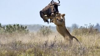 Download ► OVERCOME DEATH!! - BULL BUFFALLO vs LIONS - (Lions Documentary) NAT GEO WILD | HD Video