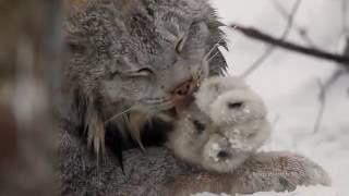 Download Canada Lynx Video