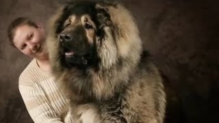 Download 5 Biggest Guard Dogs From Around The World! Video
