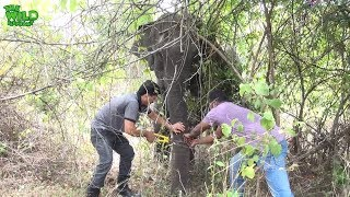 Download Hunters' trap caught the trunk of a big elephant |wildlife team saves elephant's trunk from trap Video