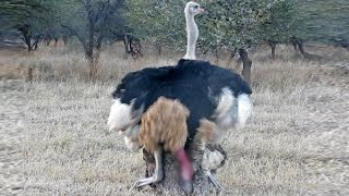 Download Ostriches Mating in Front of Tourists Video