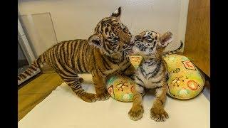 Download Special Cub Delivery - Sumatran Tiger Cub Meets Bengal Tiger Cub Video