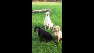 Download Cockers Finlay & Murphy, Cocker Millie with English Setter Otis. Video