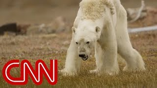 Download What happened to this starving polar bear? Video