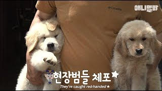 Download 7 Trouble-maker Retriver puppies.. But their mom's on a vacation from childcare;; Video