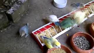 Download inside my Walk in flight cage with my lovebirds Video