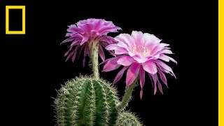 Download Time-Lapse: Beautiful Cacti Bloom Before Your Eyes | Short Film Showcase Video