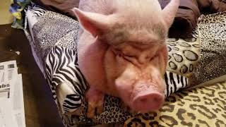 Download FULL MONDAY MORNING ″ MINI PIG ″ ROUTINE 💖 SAMMY DOESN'T DO MONDAYS 😂 Video