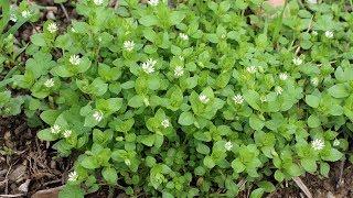 Download Мокрица - супер растение для здоровья, красоты и долголетия Video