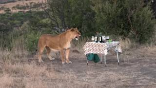 Download South-Africa Nambiti Game reserve lion visit Video