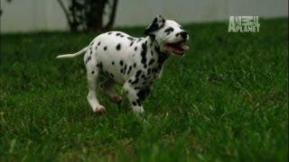 Download Dalmatians Cause Destruction   Too Cute! Video