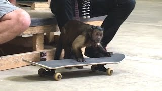 Download MONKEY AT THE SKATEPARK! Video