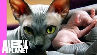 Download Bald & Beautiful: Sphynx Kittens | Too Cute! Video