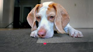 Download Dog Chases Laser, Finds Pot of Treats: Cute Dog Maymo Video