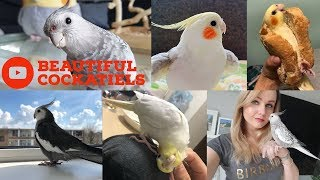 Download Cockatiels are the BEST | Beautiful Birds Edition | Happy Cockatiels | Cockatiel Funny Videos | Video