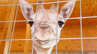 Download April the Giraffe's Calf, Tajiri, Is Moving to North Carolina Video