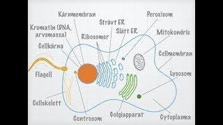 Download Den eukaryota cellens uppbyggnad Video