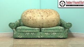 Download Why is Someone Who is Lazy Called a Couch Potato? Video