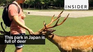 Download This park in Nara, Japan, is full of polite deer Video