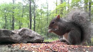 Download Eastern Gray Squirrel (Video for dogs and cats to watch...) Video