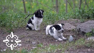 Download The Puppies of Chernobyl Video