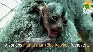 Download Aranyos éji majom kölyök a Pálmaházban Video