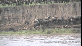 Download Wildebeest Migration Across the Mara River Video