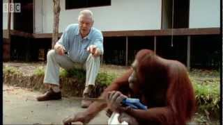 Download Attenborough and the Amazing DIY Orangutans | BBC Earth Video
