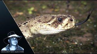 Download Rattlesnake Stalks Alligator Hatchlings 01 Video