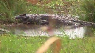 Download Crocodile Hunt Video